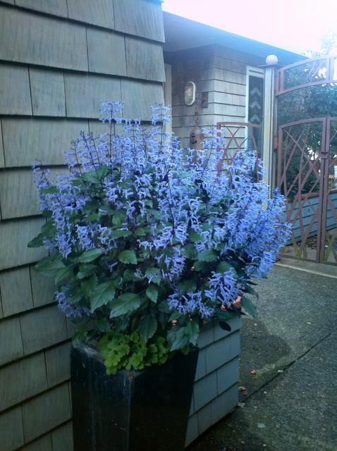 Plectranthus Mona Lavender