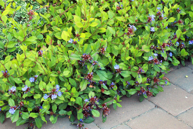 great design plant plumbago, Natural flower