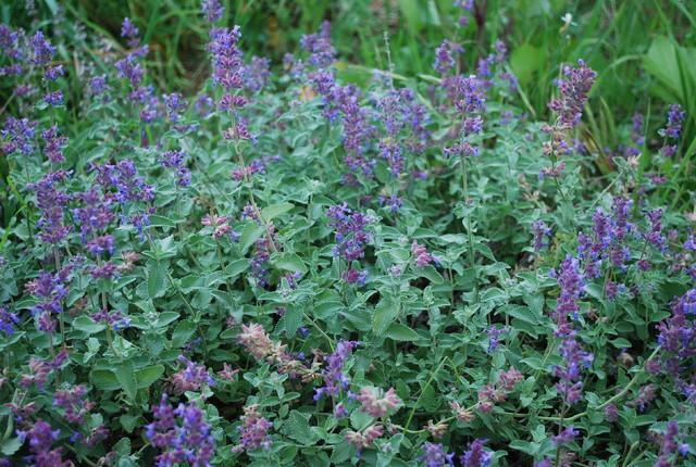 pollinator-plants-catmint01-FS.JPG eclectic-landscape