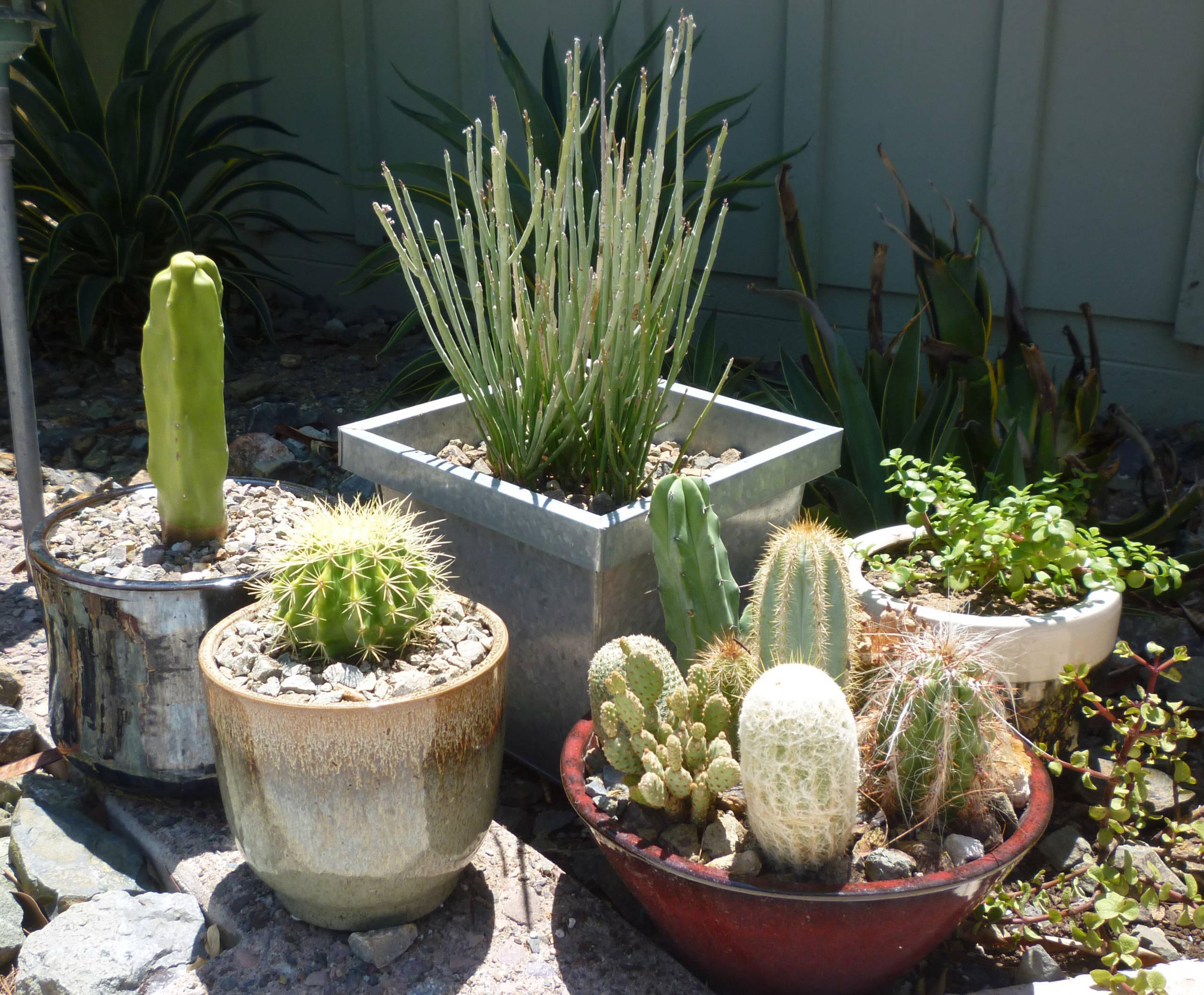 Potted Cacti & Succulent Mix