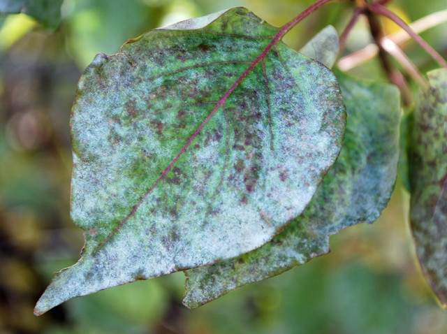 powdery mildew on lilac leaves modern landscape denver by
