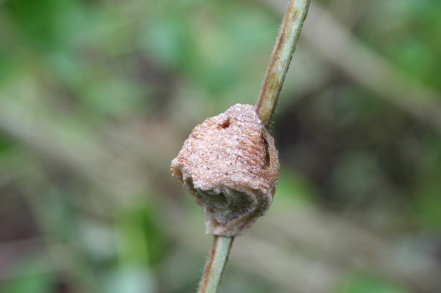 Praying Mantid Egg Case Jpg
