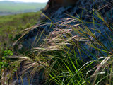 landscape Great Design Plant: Purple Needle Grass, California's State Grass (6 photos)