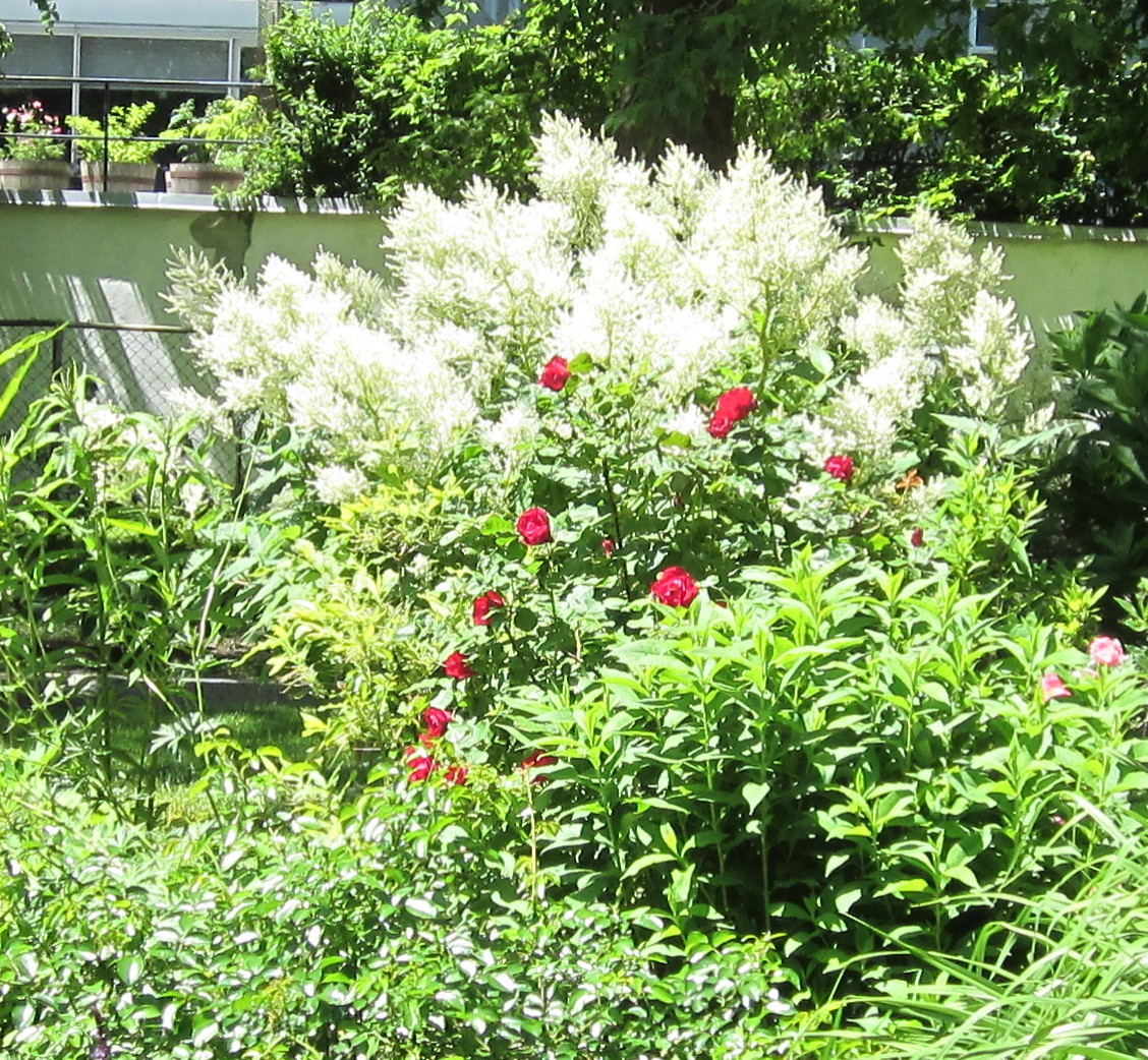 Red and White at mid-summer.