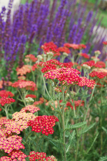 Red Yarrow Achillia Spp Traditional Landscape