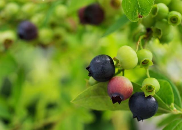 ripening blueberries landscape