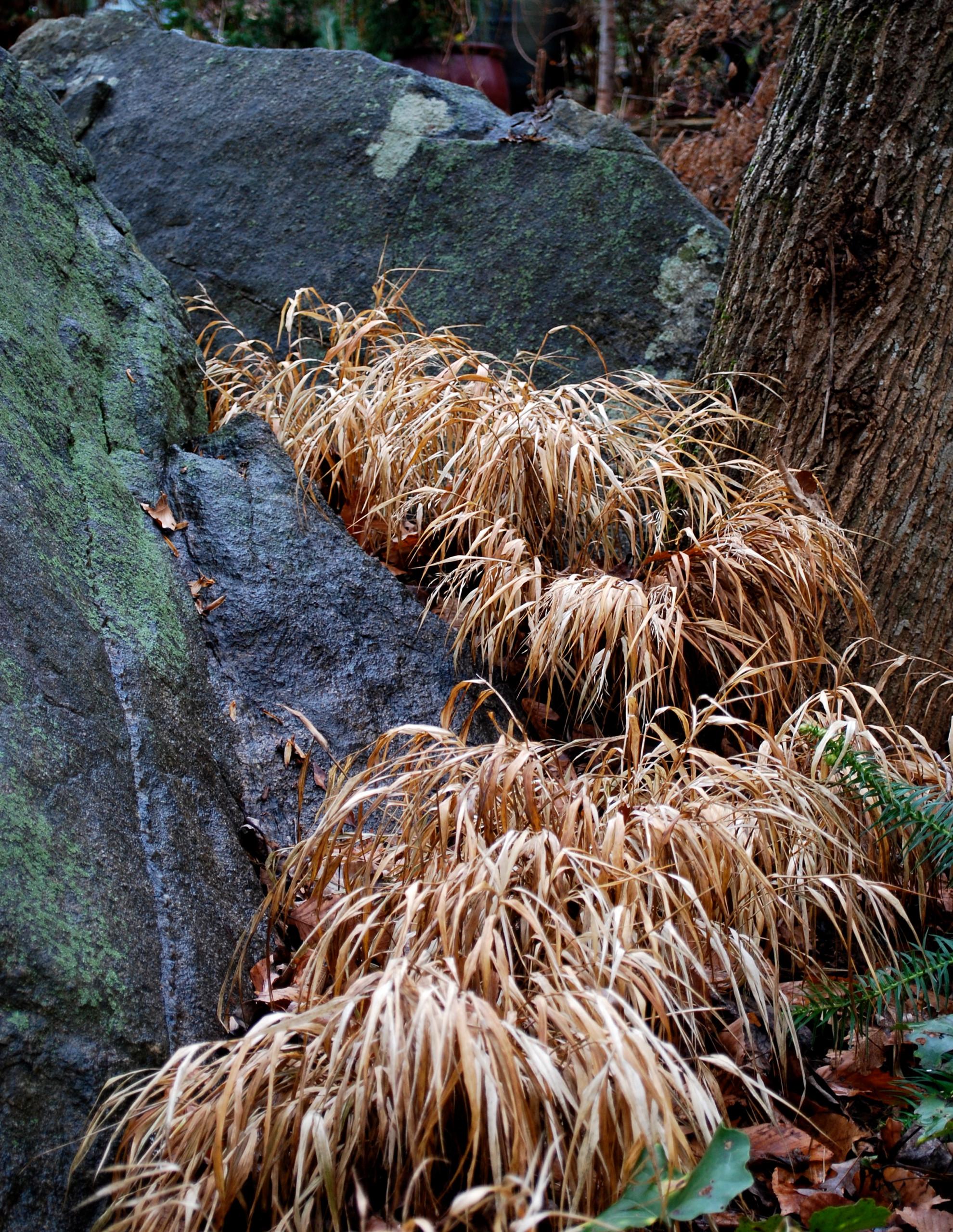 """River"" of Japanese forest grass between boulders; Front Garden, winter, 2014."