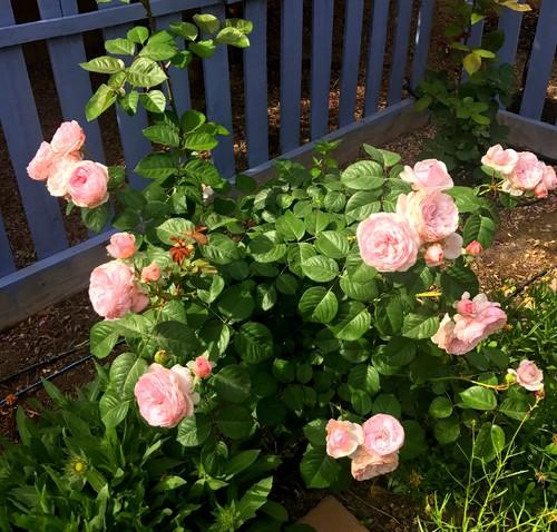 Így ápold a rózsákat ősszel, hogy jövőre is gyönyörűek legyenek