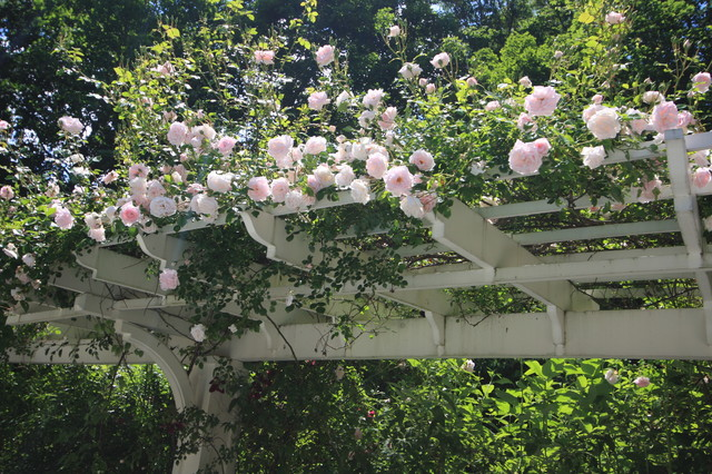how to train a climbing rose over an arch