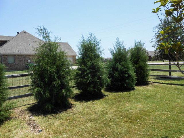 Row Of Eastern Red Cedar Trees Along Fence Rustic