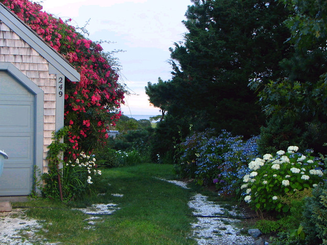 Rustic Cape Cod Rambling Rose and Hydrangea allee accent ocean view ...