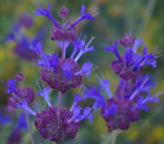Salvia Celestial Blue landscape