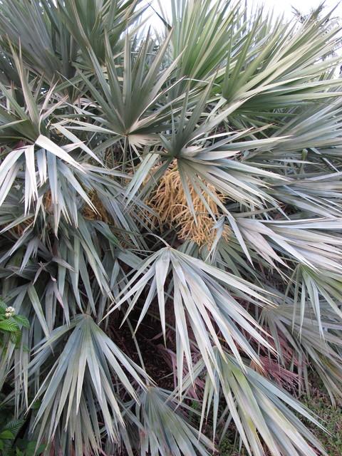 Saw Palmetto Serenoa Repens Landscape