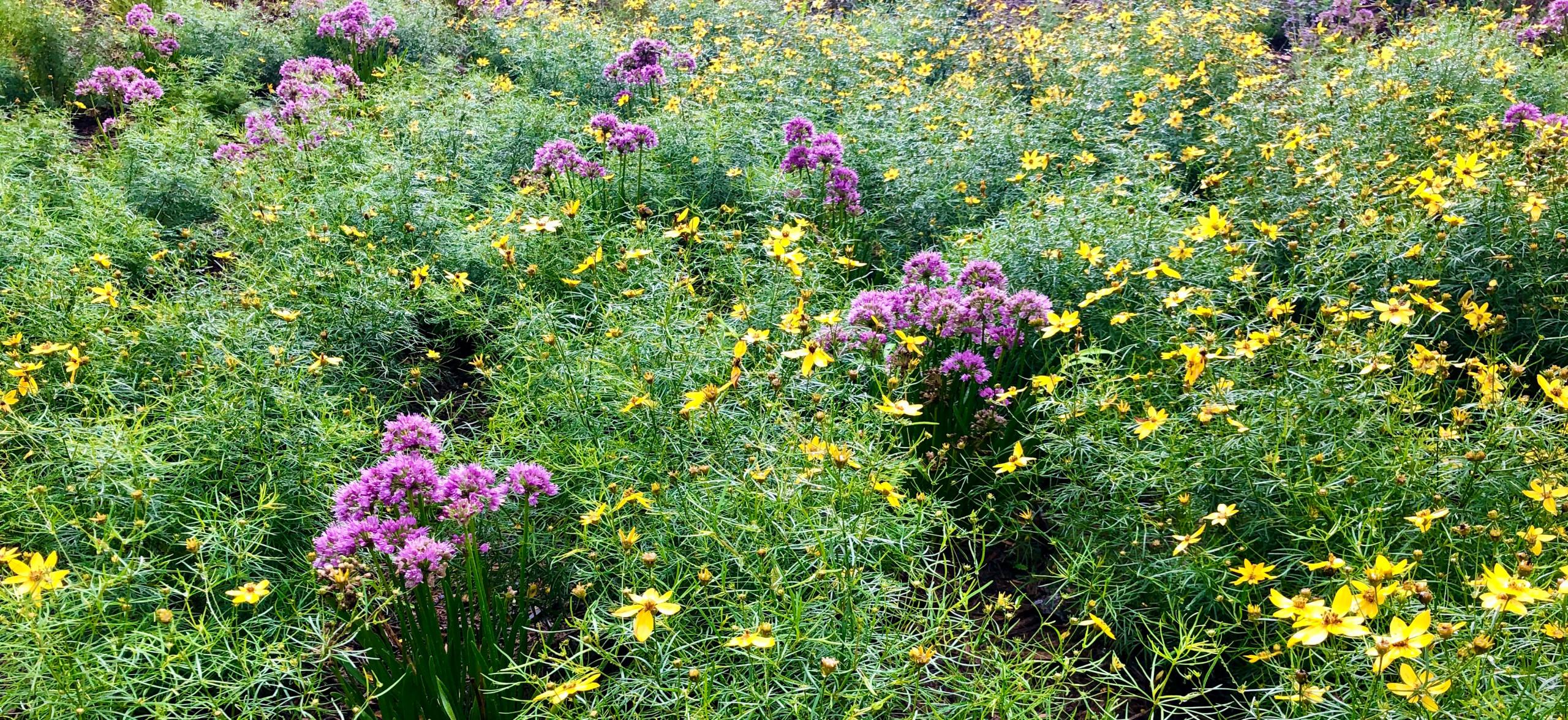 Septic field turned meadow.