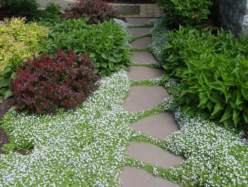 What is the name of the ground cover with tiny white flowers for Landscaping rocks you can walk on