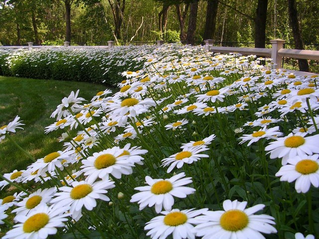 Shasta Daisy Border Traditional Landscape Boston