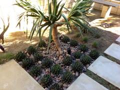 8 Best Succulents for Urban Indian Gardens