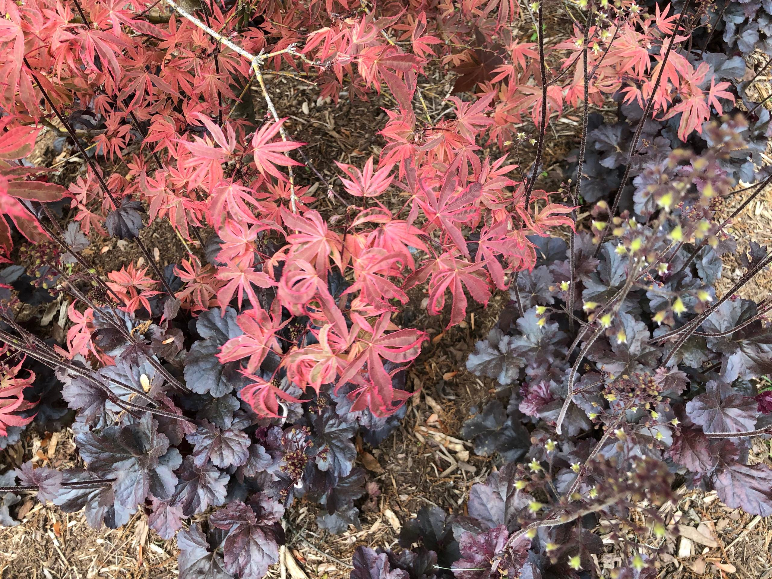 'Shirazz' Japanese maple with 'Obsidian' heuchera.
