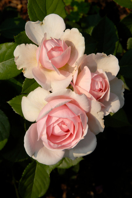 Shrub Roses traditional-landscape