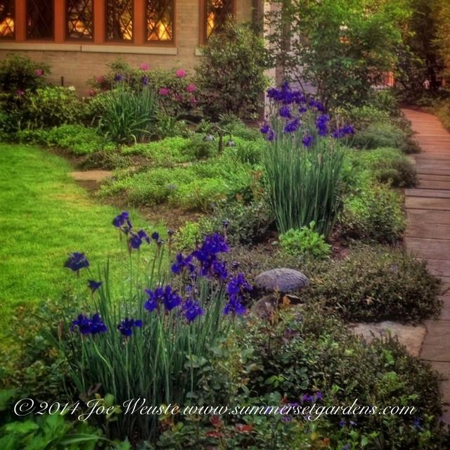 Siberian Iris In Bloom With Iris Garden Design.
