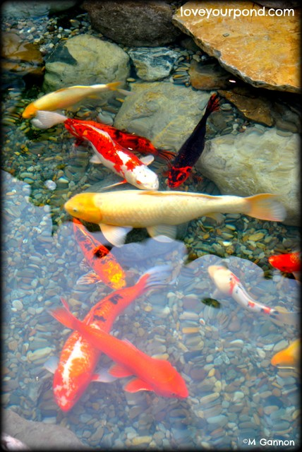 Slabstone koi pond by full service aquatics traditional for Pool koi aquatics ltd