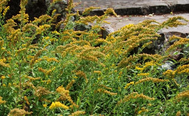 Solidago Californica California Goldenrod Traditional Garden