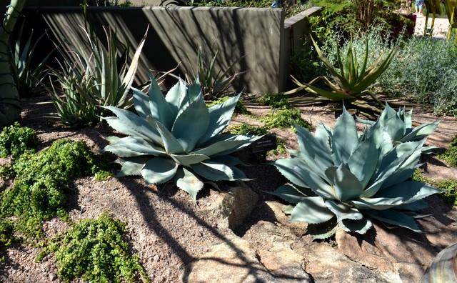 Great Design Plant Agave Ovatifolia