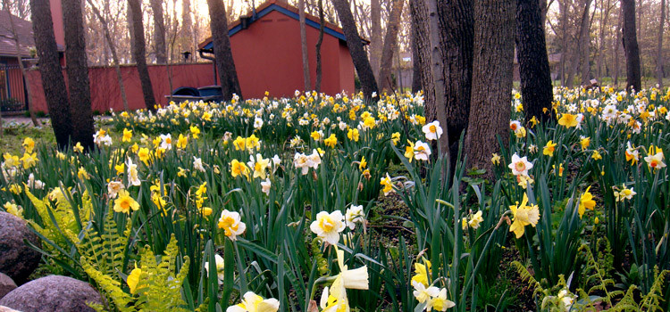 Spring Bulbs (Tulips, Daffodils, Hyacinths, Gallium and more)