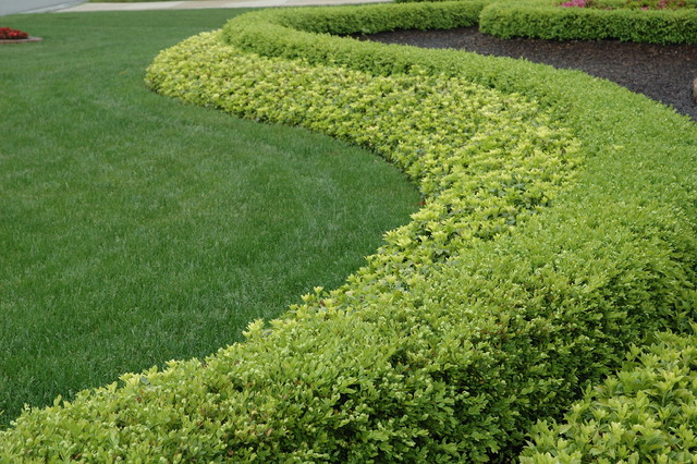 Strong Statement Hedge Row Boxwood and Pachysandra traditional landscape