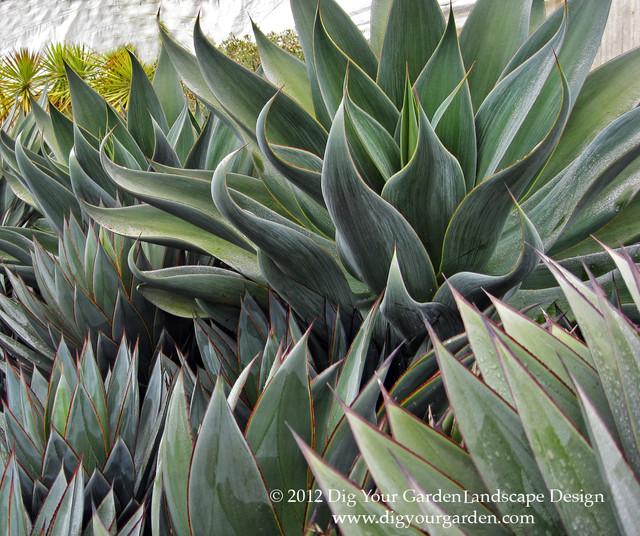 Succulents And Companion Plants Modern Landscape San