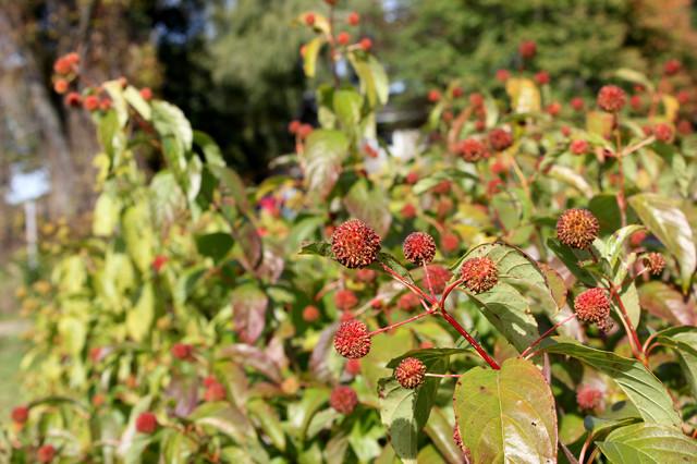 Sugar Shack 174 Buttonbush Cephalanthus Occidentalis Eclectic Landscape