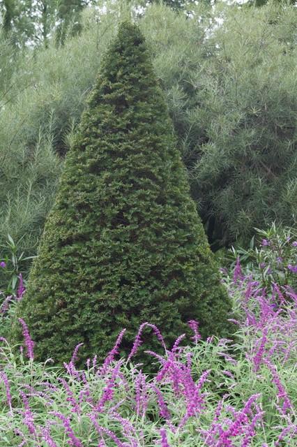 Taxus sp., at Longwood Gardens, PA landscape