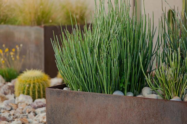Great Design Plant Euphorbia Antisyphilitica