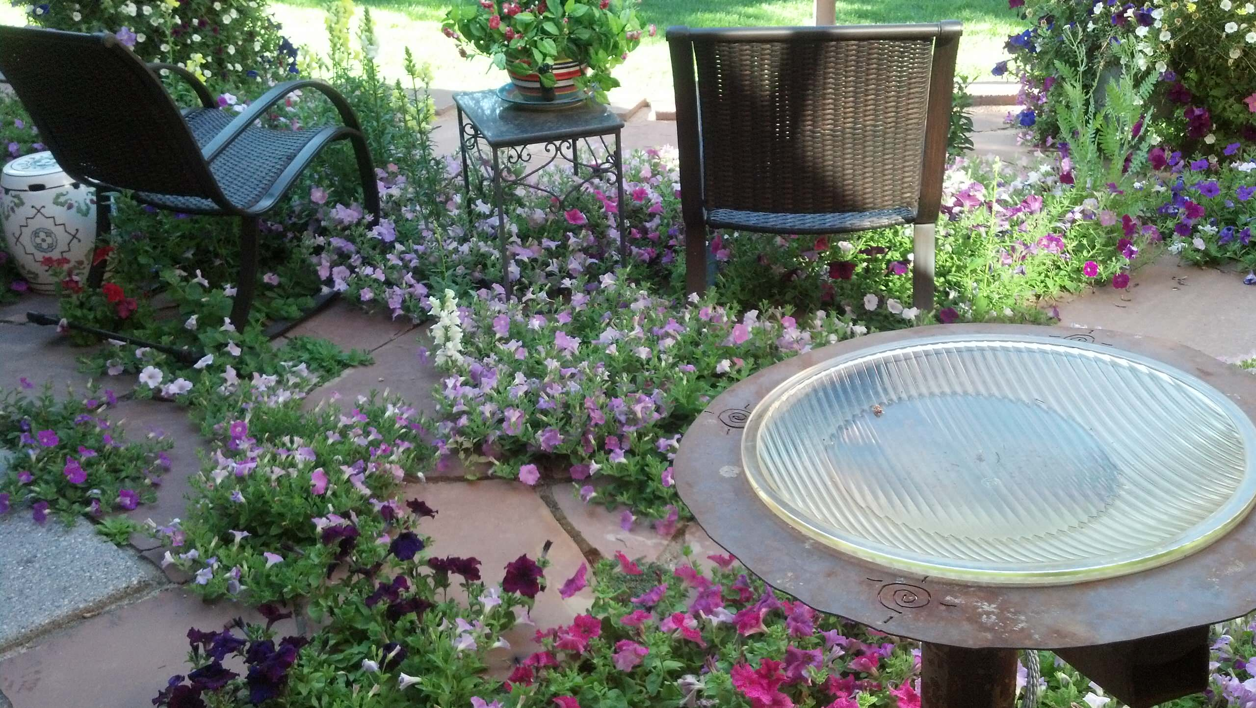 These Petunias are all volunteers