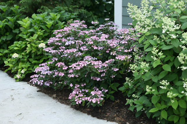 Tiny Tuff Stuff Mountain Hydrangea Eclectic Landscape Chicago By Proven Winners