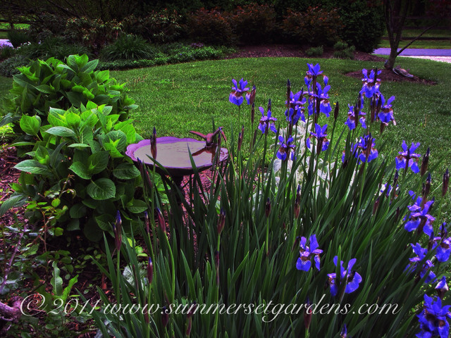Siberian Iris In A Hudson Valley Garden Traditional