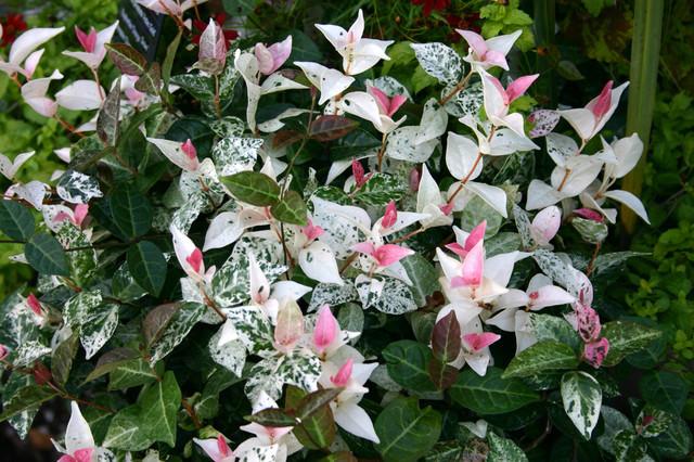 Tricolor Asian Jasmine Trachelospermum Asiaticum
