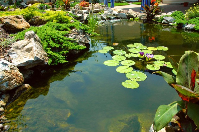 Twin ponds, one pond for fish, and one pond for water plants traditional-landscape