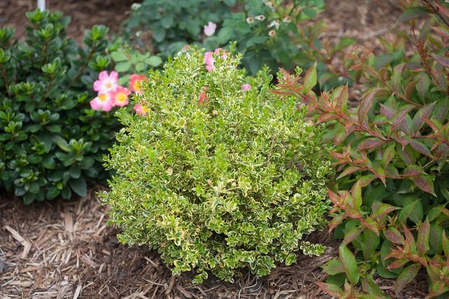 WEDDING RING Boxwood Buxus microphylla var koreana Eclectic