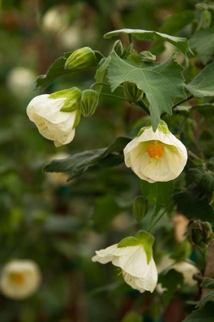 White Flowering Maple traditional-landscape