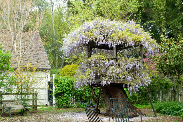 Wisteria on Atherton fort rustic-landscape