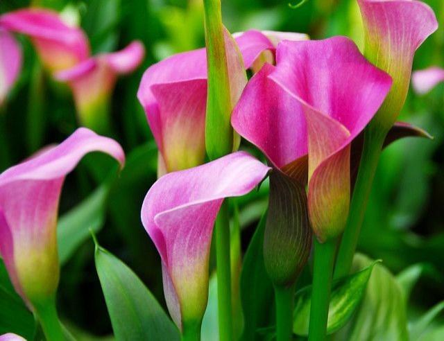 Zantedeschia calla lilies traditional landscape for Beckerman kitchen cabinets