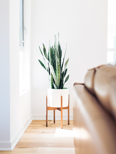 Snake plant in modernica case study planter midcentury Interior design plants inside house