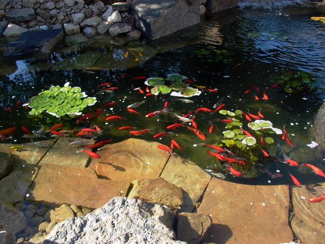 Beautiful waterfall and koi pond greeley co rustic for Koi pool water gardens thornton