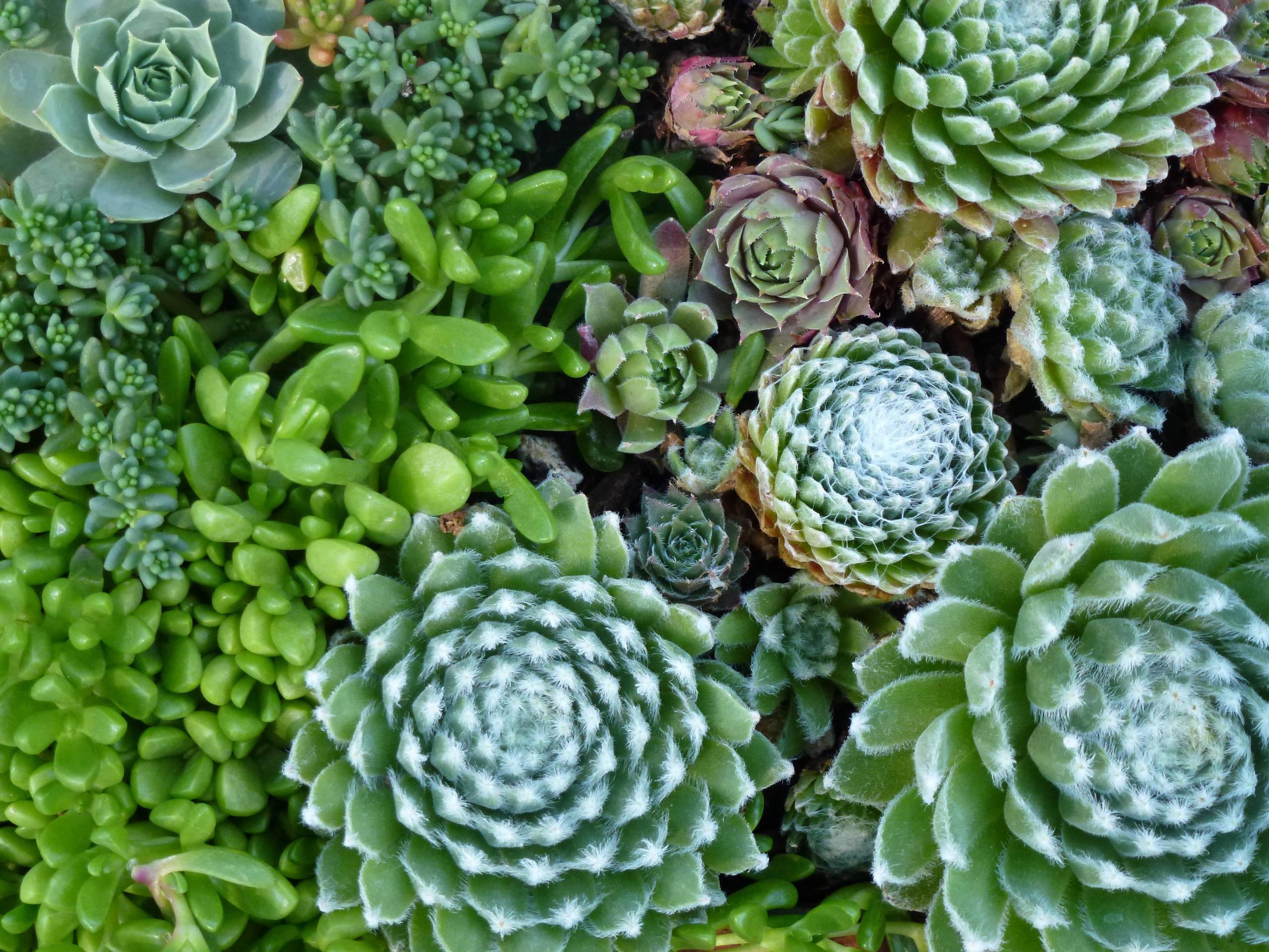 High Desert Hardy Succulents