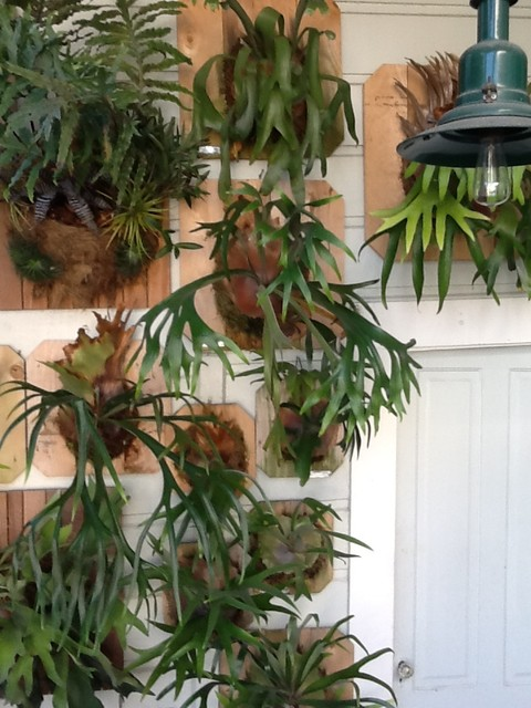 My Living Wall Of Mounted Staghorn Ferns