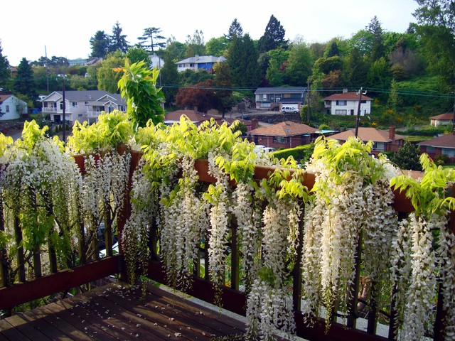 Wisteria on wooden deck asian-porch